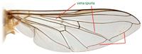 Syrphus ribesii wing