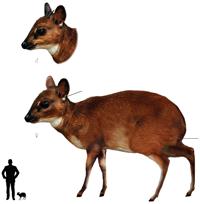 Pygmy Antelope