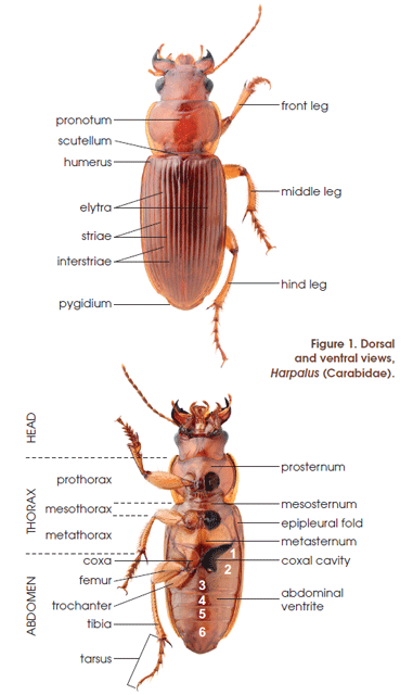 Evans A Beetles Of Eastern North America Paperback And Ebook