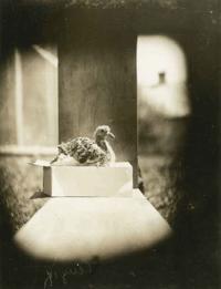 Passenger Pigeon chick