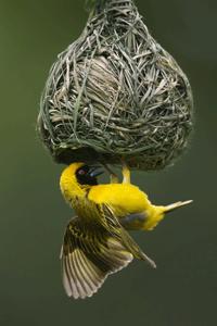 African Masked-Weaver