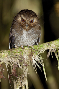 Long-whiskered Owlet, by Dubi Shapiro