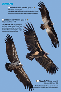 Vultures in flight