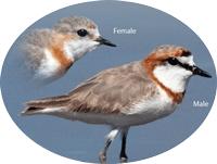 Chestnut-banded plover