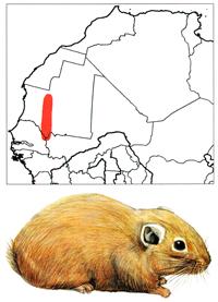 Senegal Gundi