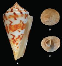 C. centurio
