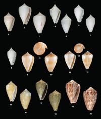 C. punticulatus