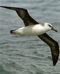 Grey-Headed Albatross