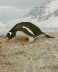 Penguin Behaviour - Fighting