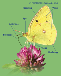 Clouded Yellow Underside