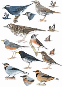 Migrant Thrushes and Fruithunter