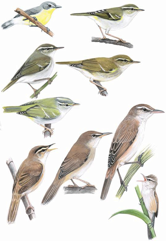 Gerygone, Leaf and Reed-Warblers