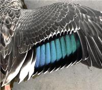 Eastern Spot-billed Duck (wing)