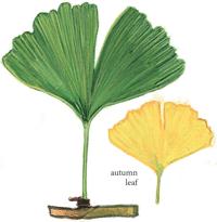 Ginkgo Family: Leaf