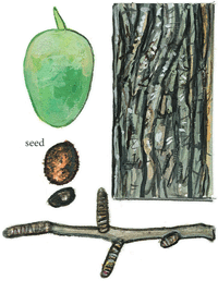 Ginkgo Family: Seed, Bark