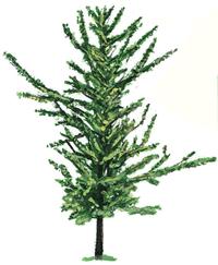 Ginkgo Family: Tree