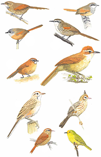 Synallaxis and other Ovenbirds