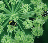 Worker bumblebees foraging