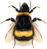 Broken-Belted Bumble Bee