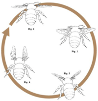 Mechanics of Bee Flight