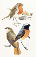 European Robin and Common Redstart