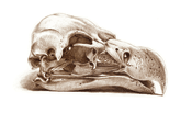 Skull of a Lappet-faced Vulture