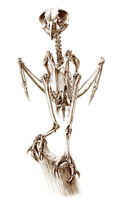 Skeleton of a Brown Fish Owl