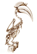 Skeleton of a Great Hornbill